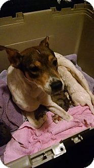 Australian Shepherd/Cattle Dog Mix Dog for adoption in Warren, Michigan - Daisy