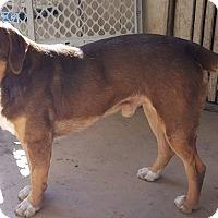 Adopt A Pet :: Lazurus - San Antonio, TX