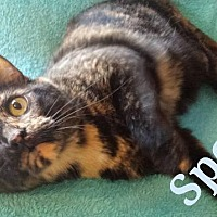 Domestic Shorthair Cat for adoption in St. Louis, Missouri - Spooky (Courtesy Posting)
