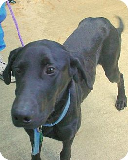 Doberman Pinscher/Labrador Retriever Mix Dog for adoption in Olympia, Washington - 44372