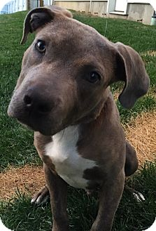 Pit Bull Terrier Mix Puppy for adoption in Middletown, Ohio - Callahan