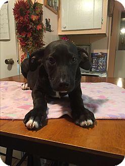 Labrador Retriever/Boxer Mix Puppy for adoption in Haggerstown, Maryland - Loki