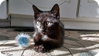 Domestic Shorthair Kitten for adoption in Columbus, Ohio - Shaggy