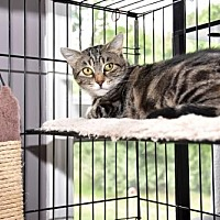 Domestic Shorthair Cat for adoption in Rockaway, New Jersey - Honey