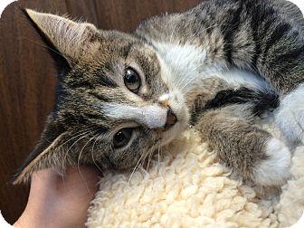 Domestic Shorthair Kitten for adoption in University Park, Illinois - Lollipop