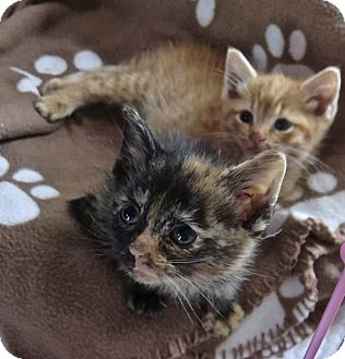 Domestic Shorthair Kitten for adoption in Burlington, North Carolina - EMILY