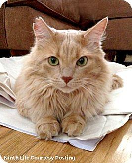 Domestic Longhair Cat for adoption in Oakville, Ontario - Kona