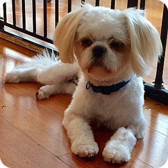 Bichon Frise/Shih Tzu Mix Dog for adoption in CUMMING, Georgia - Mika