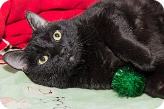 Domestic Shorthair Cat for adoption in Lowell, Massachusetts - Emma