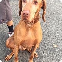 Adopt A Pet :: King - Canoga Park, CA