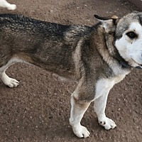 Siberian Husky Dog for adoption in Cedar Crest, New Mexico - Missy