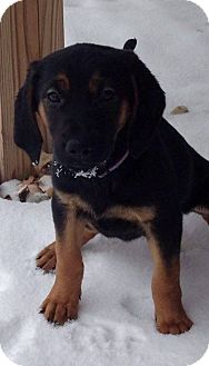 Black and Tan Coonhound/Bloodhound Mix Puppy for adoption in Chester, Connecticut - Sophie