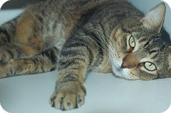 Domestic Shorthair Cat for adoption in Bradenton, Florida - B.B.