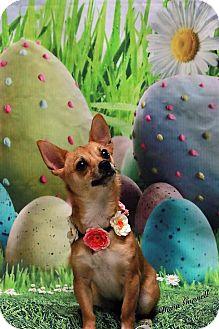 Chihuahua Mix Dog for adoption in Twin Falls, Idaho - Sheba
