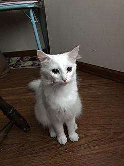 Domestic Longhair Cat for adoption in Gastonia, North Carolina - Snowball