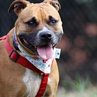 Boxer/Pit Bull Terrier Mix Dog for adoption in Norman, Oklahoma - Kiley