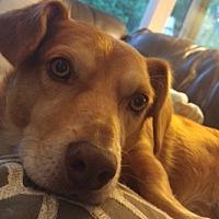 Adopt A Pet :: Buddy - Sweet Boy! - Seattle, WA