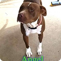 American Staffordshire Terrier Mix Dog for adoption in Pensacola, Florida - Angel