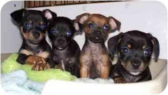 Dachshund/Chihuahua Mix Puppy for adoption in Seattle c/o Kingston 98346/ Washington State, Washington - Laverne