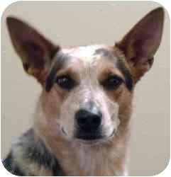 Australian Cattle Dog Mix Dog for adoption in Meridian, Idaho - Sandy