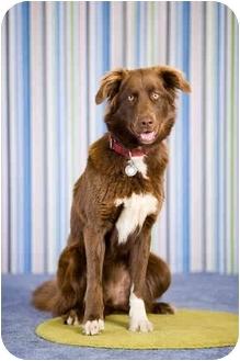 Australian Shepherd Mix Dog for adoption in Portland, Oregon - Josie