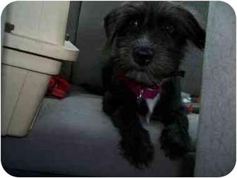 Terrier (Unknown Type, Small) Puppy for adoption in Crown Point, Indiana - Daisy