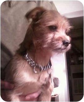 Border Terrier Mix Dog for adoption in Raritan, New Jersey - Taz