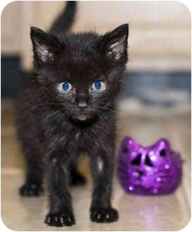 Domestic Shorthair Kitten for adoption in Cincinnati, Ohio - Bear