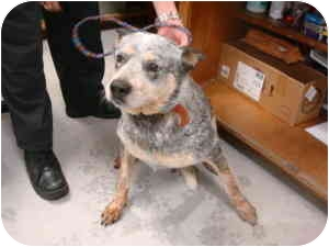 Cattle Dog Mix Dog for adoption in Greenville, North Carolina - Jessie