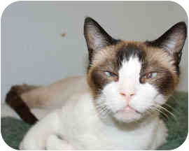 Siamese Cat for adoption in Houston, Texas - Sherpa