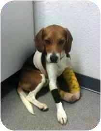 Beagle Mix Puppy for adoption in Phoenix, Arizona - Gallagher