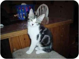 Domestic Shorthair Kitten for adoption in Scottsdale, Arizona - Marble