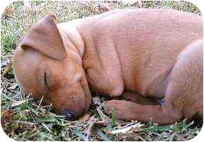 Miniature Pinscher Puppy for adoption in Florissant, Missouri - Mason