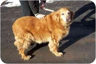 Golden Retriever Dog for adoption in Kingston, New York - Tammy