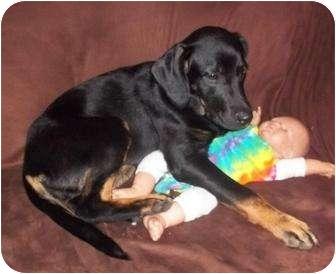 Labrador Retriever/Hound (Unknown Type) Mix Puppy for adoption in Fort Hunter, New York - Layla