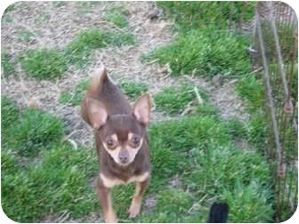 Chihuahua Dog for adoption in Westport, Connecticut - Scooter