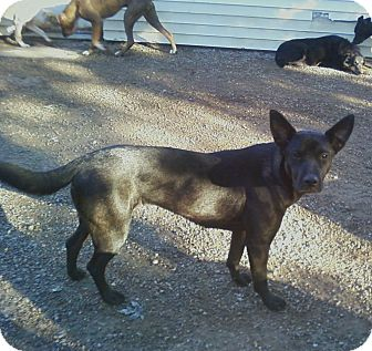 Australian Kelpie Mix Dog for adoption in Toledo, Ohio - Tessa