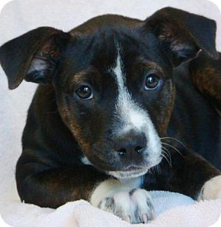 Rottweiler Mix Puppy for adoption in Red Bluff, California - Moxie