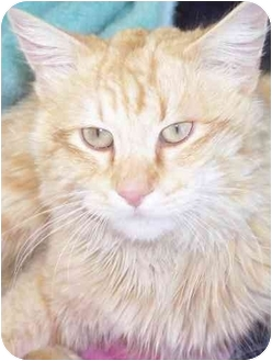Domestic Longhair Cat for adoption in Tracy, California - Forester