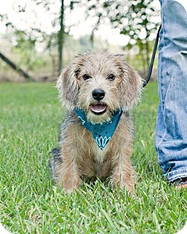 Terrier (Unknown Type, Small) Mix Puppy for adoption in Portsmouth, Rhode Island - Nick-w/video!