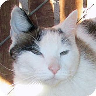 Domestic Shorthair Cat for adoption in Phoenix, Arizona - Bouncer