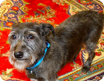 Schnauzer (Miniature)/Terrier (Unknown Type, Small) Mix Dog for adoption in Knoxville, Tennessee - Trudy