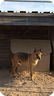 Shepherd (Unknown Type) Mix Dog for adoption in Pahrump, Nevada - Rhodes