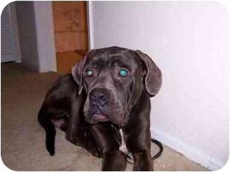 Neapolitan Mastiff Mix Dog for adoption in West Los Angeles, California - Cube