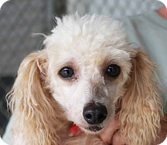 Poodle (Miniature) Mix Dog for adoption in New Freedom, Pennsylvania - Dolly(adoption pending)