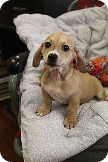 Dachshund/Terrier (Unknown Type, Small) Mix Puppy for adoption in Huntsville, Alabama - Sparky