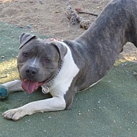 American Staffordshire Terrier Mix Dog for adoption in Toluca Lake, California - Collin