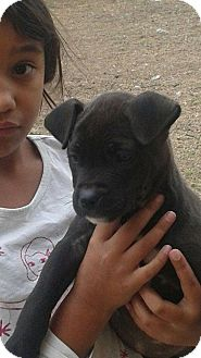 American Pit Bull Terrier Mix Puppy for adoption in Joshua, Texas - Chocolate