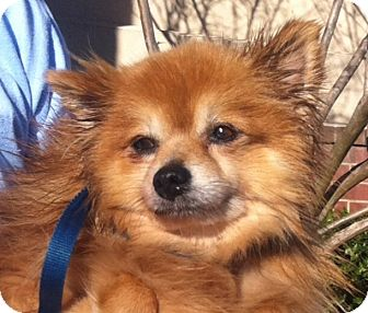 Pomeranian Dog for adoption in Mount Pleasant, South Carolina - Cooper