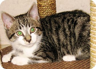 Domestic Shorthair Kitten for adoption in brewerton, New York - sport